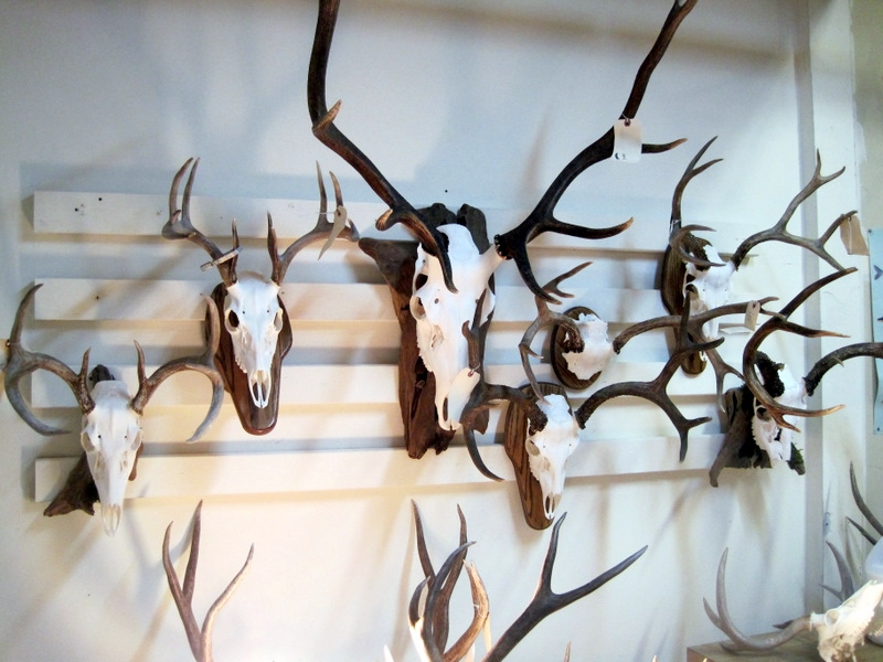 European mounts, Taxidermy, beetle cleaning